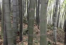 La coltivazione del Bambù Gigante OnlyMoso è realtà anche in Lombardia