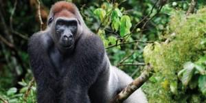 Gorilla_Estinzione_Africa
