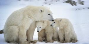 orso polare_riscaldamento climatico