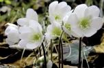 anemone di bosco