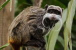 A tamarin with an imperial mustache
