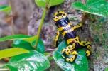 The golden poison frog