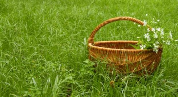 Piante spontanee commestibili: andar per erbe  infoSOStenibile