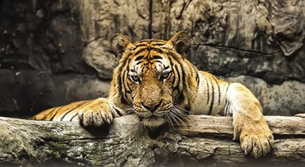 La regina della giungla infosostenibile - Colorazione pagina di tigre ...