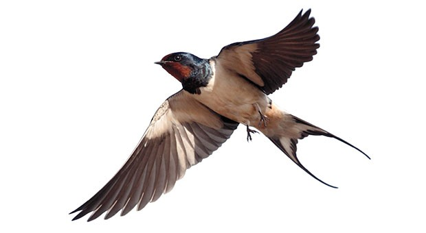 How many swallows make a spring?